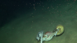 Snap shot of underwater video footage with Allonautilus and Nautilus feeding off of the same bait source in their natural habitat. (Photo by Gregory Jeff Barord)